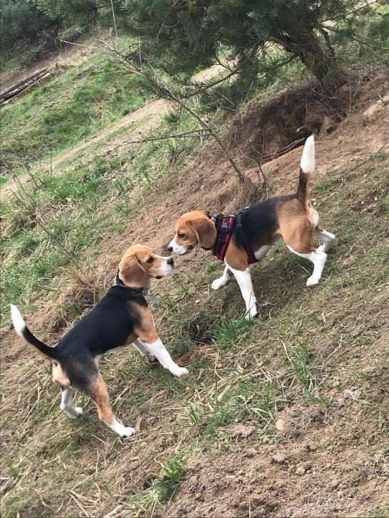 Liebe auf den 1. Blick: Piet + Rose beim Beagletreff